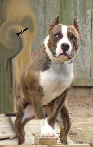 Juan Gotti Bully http://yorkshireterrierpuppiesimages.blogspot.com/2013/01/nose-bull-mixed-world-purebred-hybrid.html